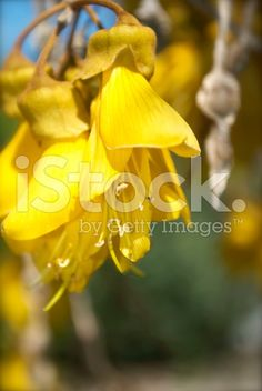 The New Zealand Kowhai Blossom. This image is almost completely. Spring Images, Spring Photos, Golden Flower, Medicinal Plants, Image Now, New Zealand, Tattoo Ideas, Medicine, Royalty Free Stock Photos