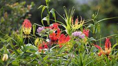 Gloriosa lilies - Dominica garden
