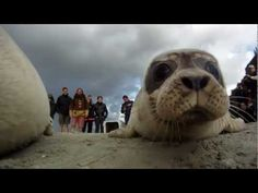 Lâcher de phoques veaux marins en baie du Mont Saint Michel.