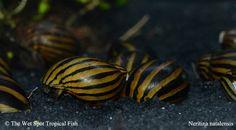 "Neritina natalensis   ""Zebra Nerite Snail"""