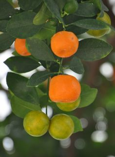 Cold Hardy Citrus Trees: Citrus Trees That Are Cold Tolerant