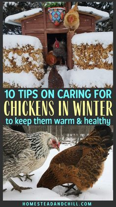 Read along to learn the 10 best practices to keep your flock of chickens warm, healthy and happy in cold winter weather. Let's talk about winterizing the chicken coop and run, special food and water requirements, preventing frostbite - and more! Food For Chickens, Chickens In The Winter, Raising Backyard Chickens, Keeping Chickens, Chickens And Roosters, Urban Chickens, Pet Chickens, Chicken Coop Pallets, Chicken Coop Run