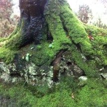Looking Back, Moss covered tree roots. Beautiful Endeavour Boat Blog, Fiona Malkin, @ringnetter