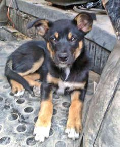 australian kelpie puppy :) I imagine this is what Josie looked like as a puppy. Cute Puppies And Kittens, Cute Dogs, Dogs And Puppies, Australian Sheep Dogs, Baby Animals, Cute Animals, Most Beautiful Dogs, Herding Dogs, Horses And Dogs