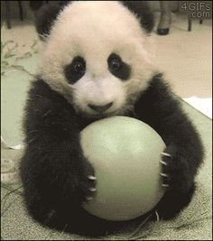 "This panda who— ""Hey! DON'T TOUCH MY BALL!"" (gif)"