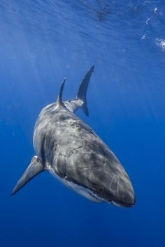 Great White Shark Portrait | by: (George Probst)