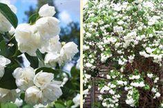 A jezsámen sokoldalú cserje, melyet gyakorta ültetnek nyíratlan sövényként és térelválasztóként egyaránt, legfőbb értéke azonban kétségtelenül virágainak bódító illatában rejlik. Plants, Plant, Planets