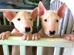 Health Cert. Registered, Warranty - Newest Puppy Pics