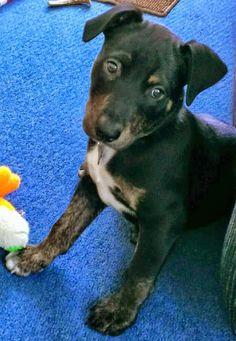 Jack the Mixed Breed -- Puppy Breed: American Staffordshire Terrier / Australian Shepherd