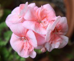 Geranium- pink