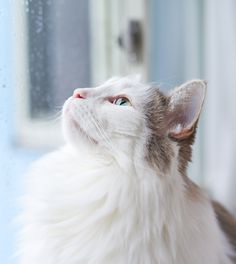 Indoor cats have quite a few things going for them that contribute to their longer average lifespans. Outdoor cats face a lot of day-to-day dangers outside that indoor cats don't. Indoor Cats, Cat Facts, All About Cats, Cat Love, The Great Outdoors, Indoor Outdoor, The Outsiders, Kitten, Face