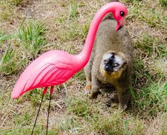 The San Francisco Zoo's lemurs were recently introduced to plastic yard flamingos as part of their enrichment program.