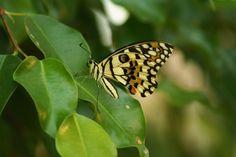 #butterflies #butterfly #nature #beautiful #amazing #bellissime #farfalla #farfalle #flowers #flower #fiori #natura #fiore #incanto #meravigliedellanatura #meraviglie #light #luce #black #nero #pois #dot #cream #crema #white #bianco #yellow #giallo #orange #arancio