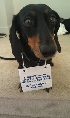 Dachshunds are really active dogs and you need to be patient for your own sake! Dachshund Funny, Dachshund Puppies, Dachshund Love, Cute Funny Dogs, Funny Dog Memes, Dog Funnies, Animal Funnies, Funny Animals, Funny Quotes
