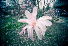"""Star Magnolia,"" by FragmentaryBlue, via Flickr -- From the tree in the photographer's year."