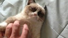 We are not amused: Tardar Sauce the cat's cranky demeanor catapulted the feline to Internet fame