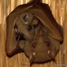 Fruit bat baby w/ Fruit bat mama!