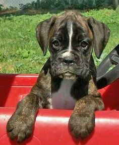 Adorable brindle boxer.