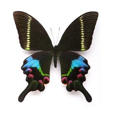 Krishna Swallowtail, framed actual butterfly specimen by Christopher Marley.