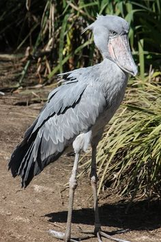 shoebill bird                                                                                                                                                                                 More