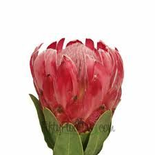 Queen Protea Flower a luxurious tropical flower that sports fuzzy pink petals and a black tipped center. Exotic and jaw dropping, this blo Church Wedding Flowers, Wedding Flower Guide, Cheap Wedding Flowers, Flower Bouquet Wedding, Wedding Ideas, Wedding Ceremony, Wedding Tables, Wedding Stuff, Turquoise Wedding Flowers