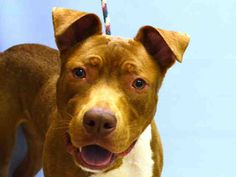 SAFE ADOPTED - 08/06/15 - TO BE DESTROYED  - 08/06/15 - WATSON - #A1045114 - Urgent Manhattan - MALE BROWN AND WHITE AMERICAN STAFF MIX, 1 Yr - STRAY - NO HOLD Intake Date 07/23/15 Due Out 07/26/15