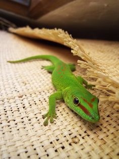 A bright green gecko.you're cute baby! Reptiles, Lizards, Amphibians, Snakes, Madagascar, Crested Gecko, Youre Cute, Ball Python, Lemur