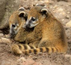 Denizensofearth Ring Tailed Coati Nasua Nasua Coatis Are Found