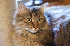 Available for adoption - Bella is a female cat, Domestic Long Hair, located at All Cats Rescue in Sioux Falls, SD.