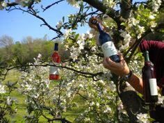 Wine harvest? Apple Barn Wines - Sevierville, TN #wine #winery #applebarn #pigeonforge