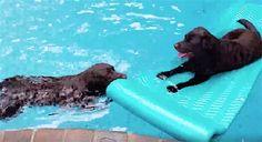 Ce chien n'est pas content d'être dans la piscine, et il voudrait bien être sur cette embarcation avec sa soeur.