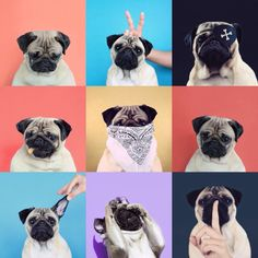 The many faces of pugs haaaa Cute Corgi Puppy, Pug Puppies, Pug Pictures, Dog Photos, Wallpaper Pug, Baby Pug Dog, Pug Love, Dog Grooming, Animal Photography