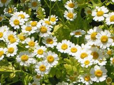 Uses and benefits of feverfew - LORECENTRAL