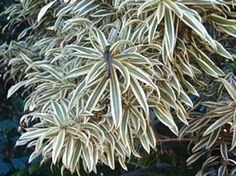 A pleomele é uma das plantas recomendadas para purificação do ar em interiores,