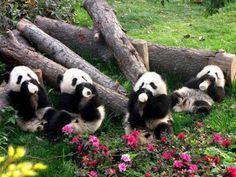 Panda cubs drinking milk