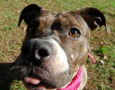 Cali is a energetic fun loving 2yr old american pit bull terrier. She loves to run and play. Cali loves to please and will give you kisses. ...