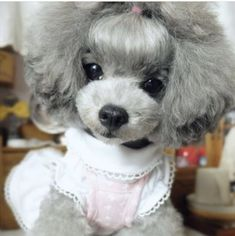 The traits we admire about the Active Poodle Dogs Cortes Poodle, I Love Dogs, Cute Dogs, Poodle Cuts, Tea Cup Poodle, Poodle Grooming, Grooming Shop, Dog Grooming Supplies, Dog Accessories
