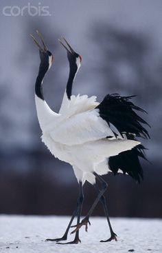 Red-Crowned Cranes in Courtship Display, Hokkaido, Japan