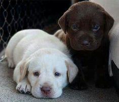 Puppies #labradorretriever