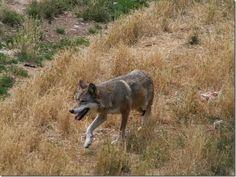 L'Italia è uno dei paesi europei più ricchi di biodiversità, sia animale che vegetale. National Animal, Goats, Gray Wolf, Wolves, Mexican, Europe, Italia, Wolf, Timber Wolf