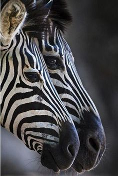A zebra is merely a horse with stripes. Beautiful Creatures, Animals Beautiful, Cute Animals, Zebras, Regard Animal, Photo Animaliere, Tier Fotos, Pictures Of The Week, Mundo Animal