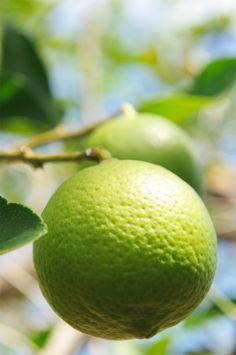 L'essence de lime possède des propriétés rafraîchissantes et apaisantes. Elle réduit la nervosité, aide à l'endormissement et tonifie le système nerveux. On l'utilise pour soulager l'asthénie, la fatigue générale, les états de lassitude et la perte de concentration.