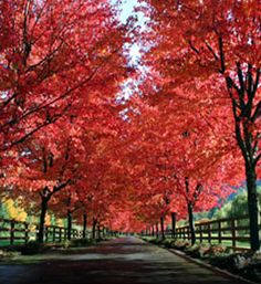 Buy affordable Sugar Maple trees at arborday.org