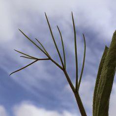 ZIRIPITI flower
