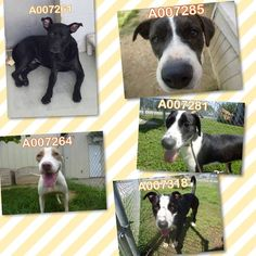 """09/13/16-ROSENBERG, TX - CRITICAL!! LONGEST RESIDENTS NEEDS OUT NOW!!!! Pets at Ft. Bend Animal Control September 9 at 8:10am ·  We again want to thank everyone who came out and adopted this past week, and shared our posts. There were 20 dogs on the """"URGENT"""" list, and every single one was adopted or rescued. It has been a very stressful week, worrying about the 20 dogs on the list, and hoping they all got out of the shelter safely. To try and prevent having such a large list, we are going to"""