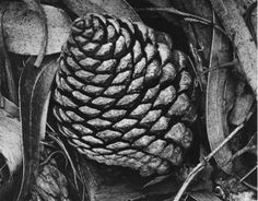 Pine Cone and Eucalyptus Leaves, San Francisco, California 1932 by Ansel Adams. Ansel Adams Photography, History Of Photography, Fine Art Photography, Nature Photography, Photography Tips, Edward Weston, Henri Cartier Bresson, Andre Kertesz, Black And White Landscape