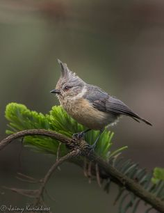 Grey-crested Tit