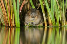 Water Voles have a stronghold in Whitchurch, north Shropshire although populations do seem to fluctuate. They are protected under the Wildlife and Countryside Act. Image from 2020VISION