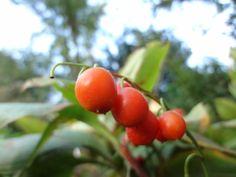 Maiglöckchen-Beeren - verlockend für viele Kinder. Achtung: Maiglöckchen sind giftig! Fruit, Poisonous Plants, Medicinal Plants, Exotic, Berries, Children, The Fruit