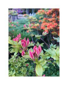 "flower overdose on Instagram: ""pink and orange . . . . . . . . . . . . . . . . . . . #gardenflowers #beautifulflowers #flowers #flower #nature #garden #flowerpower…"" Over Dose, Flower Power, Beautiful Flowers, Orange, Garden, Nature, Plants, Pink, Instagram"